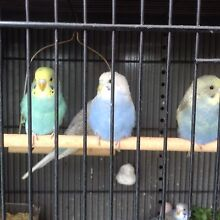 Baby budgies & cocktail $ 13 Rowville Knox Area Preview