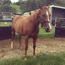 Rising 5 years old Gelding Boambee East Coffs Harbour City Preview