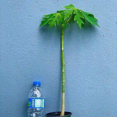 PAPAYA Tropical LIVE FRUIT TREE