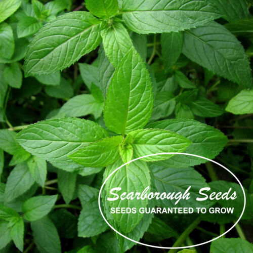 SCARBOROUGH SEEDS 1000 Mint Peppermint  herb seeds NON-GMO Heirloom Vegetable !