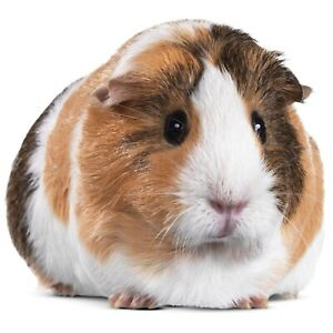 LOOKING for two Guinea pigs