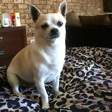 Wanted: friend for my boy chihuahua Lurnea Liverpool Area Preview