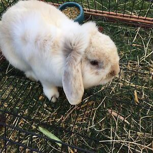 Male Dwarf lop and Hutch Blackmans Bay Kingborough Area Preview