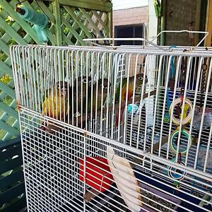 Baby conure parrots Burleigh Heads Gold Coast South Preview