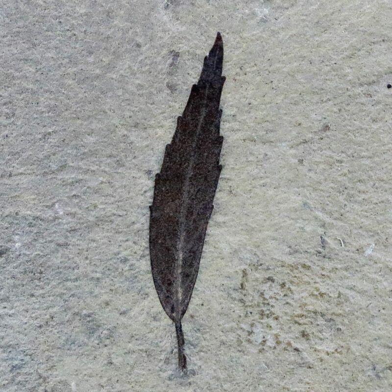 """1"""" Detailed Cedrelospermum Nervosum Fossil Plant Leaf Eocene Age Green River UT"""