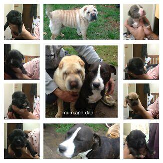 Shar pei x staffy puppies Bidwill Blacktown Area Preview