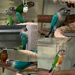 Violet series Green Cheeked conures Whiteside Pine Rivers Area Preview
