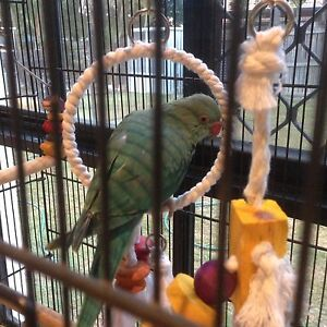 Lost Indian ringneck Mango Hill Pine Rivers Area Preview