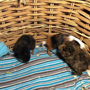 Alpaca Guinea pigs...4 weeks old baby's Boys... Caboolture South Caboolture Area Preview