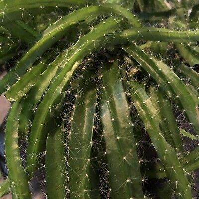 Dog Tail Cactus | Aporocactus Flagelliformis | 2 Succulent Cuttings