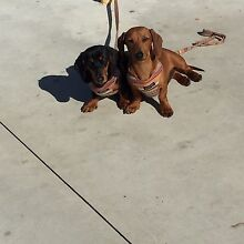 Dachshunds x 2 Cannington Canning Area Preview