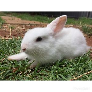 White baby rabbit for sale Elizabeth North Playford Area Preview