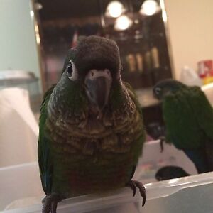 Green Cheek Conure Babies!!! One left!