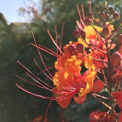 Caesalpinia pulcherrima Plant Seeds Lot 1 Dozen (12) Desert Red Bird of Paradise