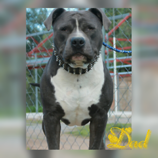 American blue staffy pups/pedigree