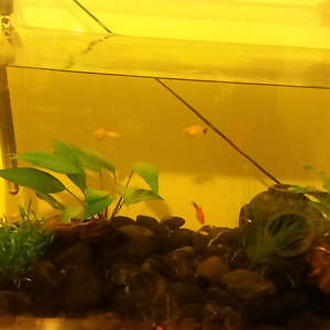 Mollies for sale fish gumtree australia free local for Molly fish for sale