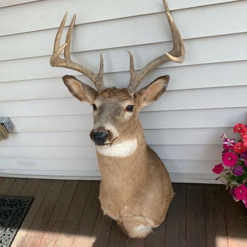 An 8 Point Deer Shoulder Mount Taxidermy.