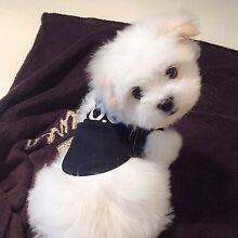Maltese puppy for sale Golden Grove Tea Tree Gully Area Preview