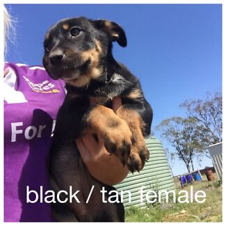 Cattle dog x kelpie pups Dalby Dalby Area Preview