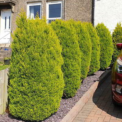 Mature 5ft Goldcrest Conifer Tree #5