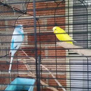 Blue younge male show budgie reduced 25 Arndell Park Blacktown Area Preview