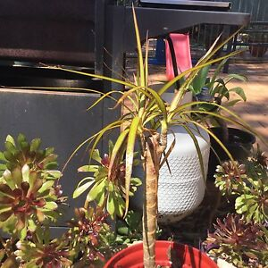 Dracena Grays Point Sutherland Area Preview