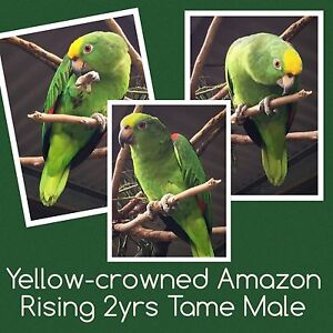 Yellow-crowned Amazon Queanbeyan Area Preview