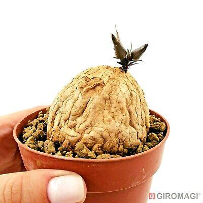 Merremia holubii POTØ8,5cm - GIROMAGI Cactus & Succulent Plants