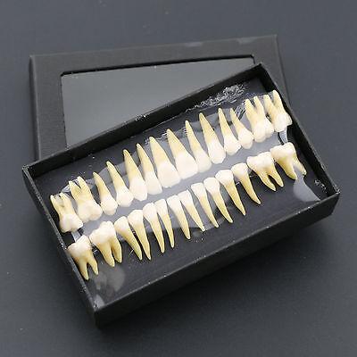 Dental Typodont Teeth Model 28 Pcs 11 Permanent Demonstration Teach Study