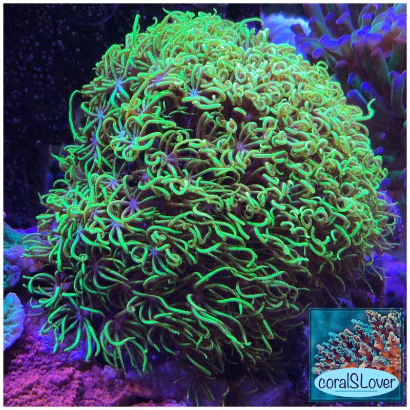"live coral Green Star Polyps ""coralSLover"""