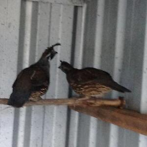 Californian quail Londonderry Penrith Area Preview