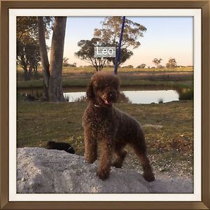 Chocolate miniature poodle Inverell Inverell Area Preview