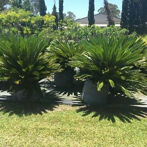 CYCADS + YACCAS PLANTS FOR SALE Tewantin Noosa Area Preview