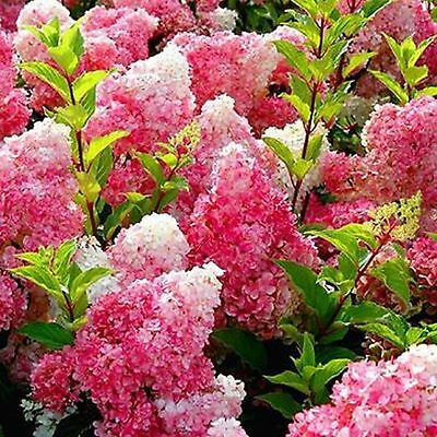 Vanilla Strawberry Hydrangea Flower Seeds 90 SEEDS  --BUY 4 ITEMS FREE SHIPPING Free Flower Seeds