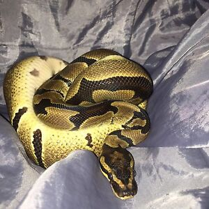 Ball Python to a loving home
