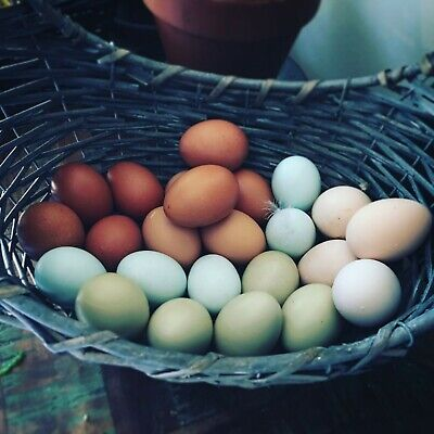 1 Dozen Barnyard Mix Chicken Hatching Eggs - Rainbow Basket