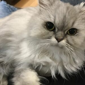 PERSIAN Cat for foster