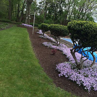 Creeping Phlox Lavender  10  Live Perennial Bare Root Healthy Plants