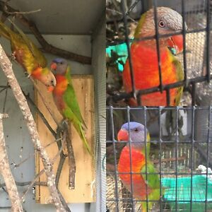 Bonded pair of mustard and dilute lorikeets