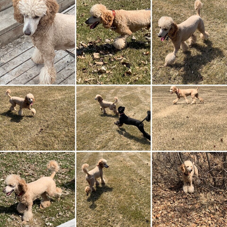 Moyen Poodle Puppies Dogs Puppies For Rehoming