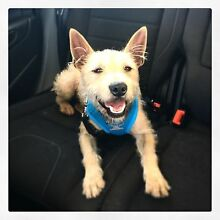 Adopt me! Terrier X - rescue dog Caringbah Sutherland Area Preview