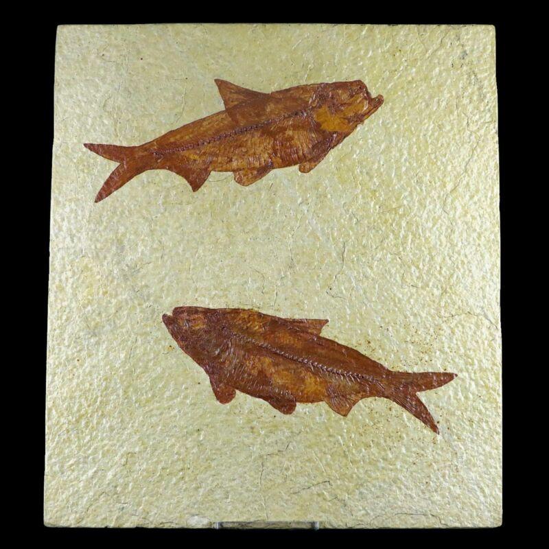 "2 Two 4.7"" Knightia Eocaena Fossil Fish Green River WY Eocene Age COA & Stand"