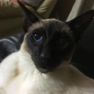 For Sale Siamese Cat