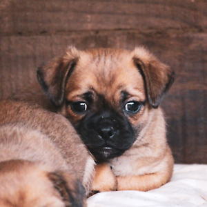 Jug Pugzu Puppies Pure Pug X Jack Russell Maltese Shih Tzu
