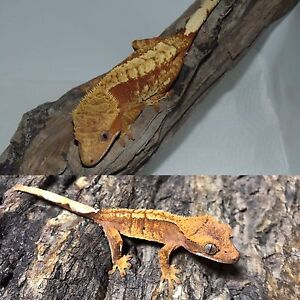 Crested Geckos - buy one get one 50% off!!