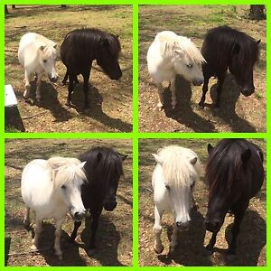 Miniature Ponys Thirlmere Wollondilly Area Preview