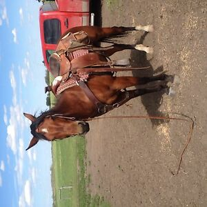 4 year old bay  mare