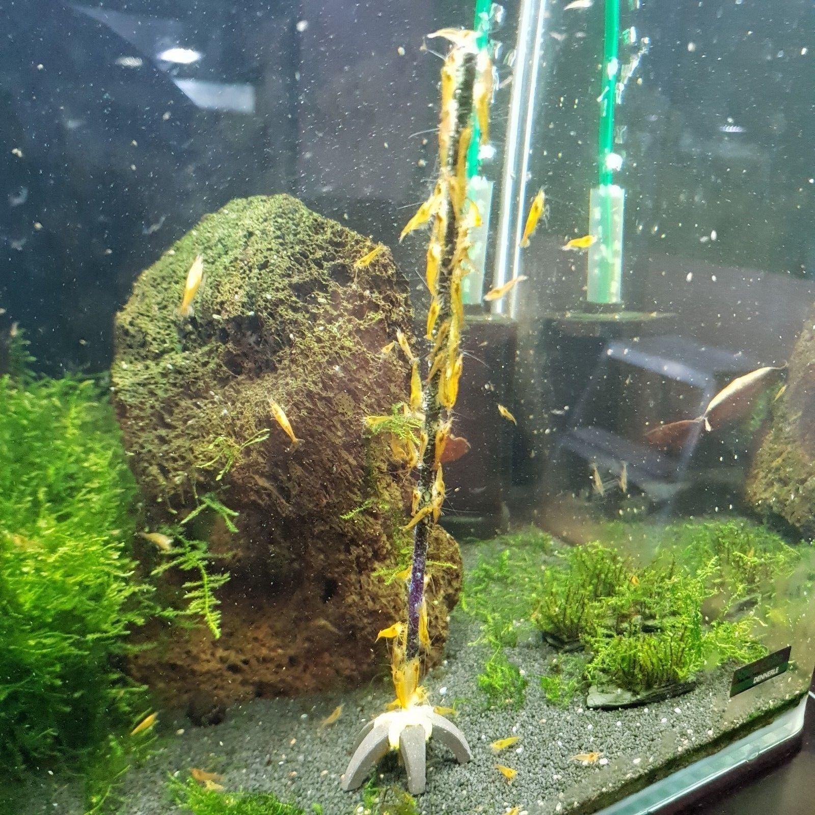 Shrimp-Lollies ULTIMATE ++TESTANGEBOT++ (Aquarium Garnelen) 10Stück [49,9ct/St.]