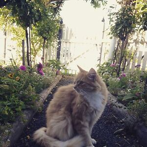 Missing: Ginger Cat Bellerive Clarence Area Preview