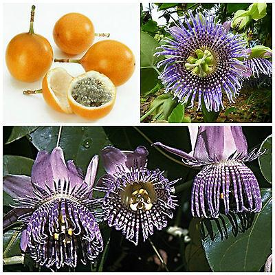 10 semi di Passiflora ligularis, frutto della passione, maracuja ,passion fruit